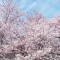 2012 Cherry Blossom Festival Info, Facts