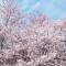 2012 Cherry Blossom Festival Info, Facts
