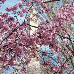 2015 Cherry Blossom Festival Specials & Events Around D.C.