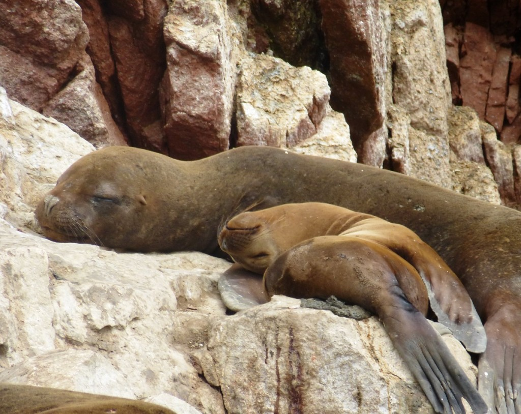 Islas Ballestas - Sea Lions